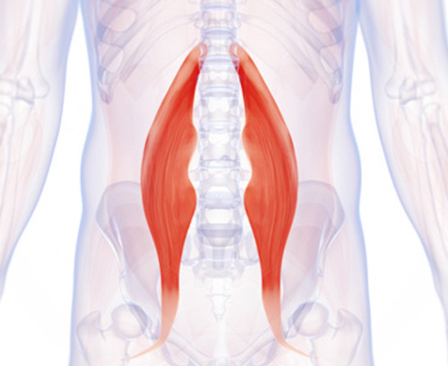 How Your Psoas Muscle Attaches